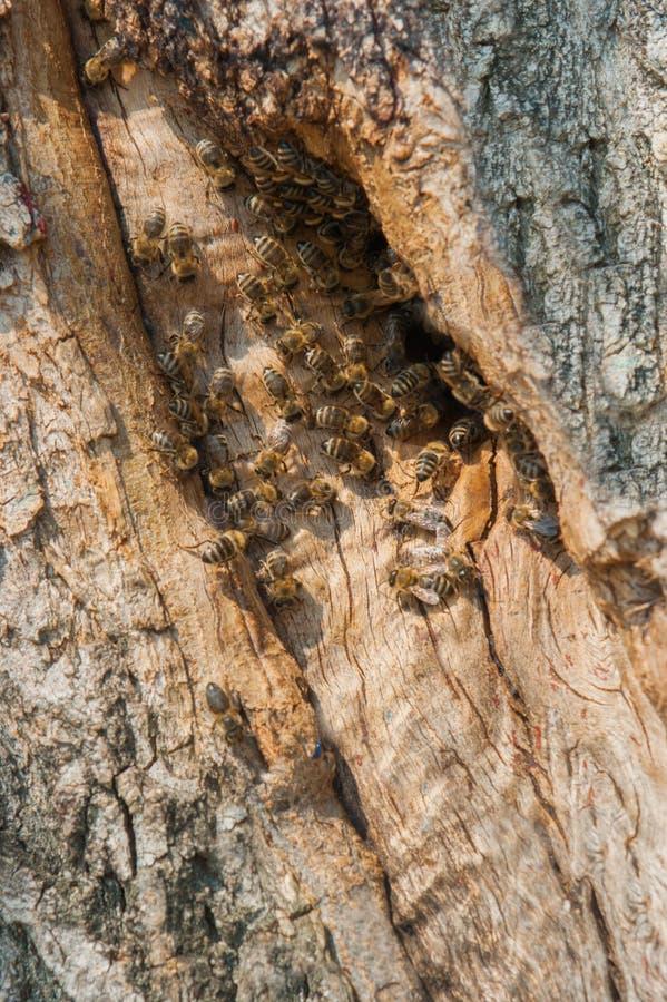 Dzikie pszczoły robili rojowi w drzewie obraz stock