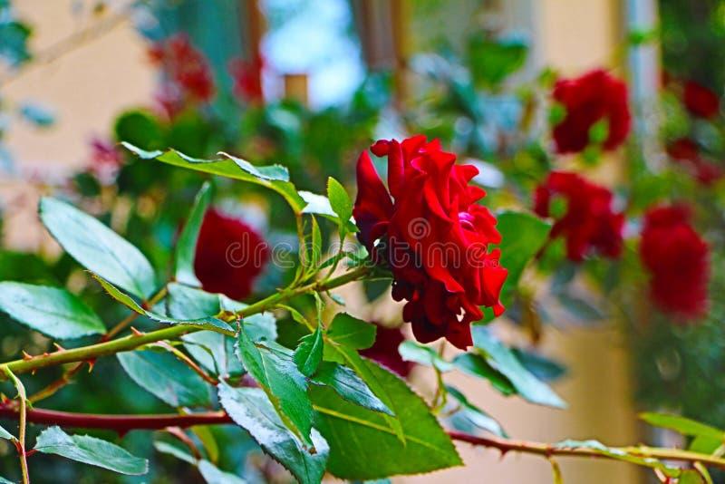 dzikie róże zdjęcia royalty free