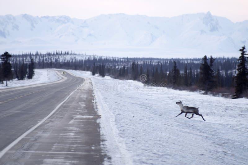 Dzikie Reniferowe Caribou próby Krzyżować Lodowatą autostradę Północny Alaska obrazy stock
