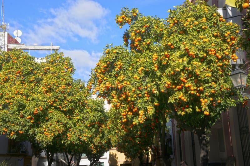 Dzikie tangeryny na ulicy zdjęcie royalty free