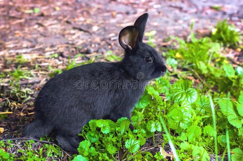 Dzikie zwierzęta w naturze, czarny królik na trawie zdjęcie stock