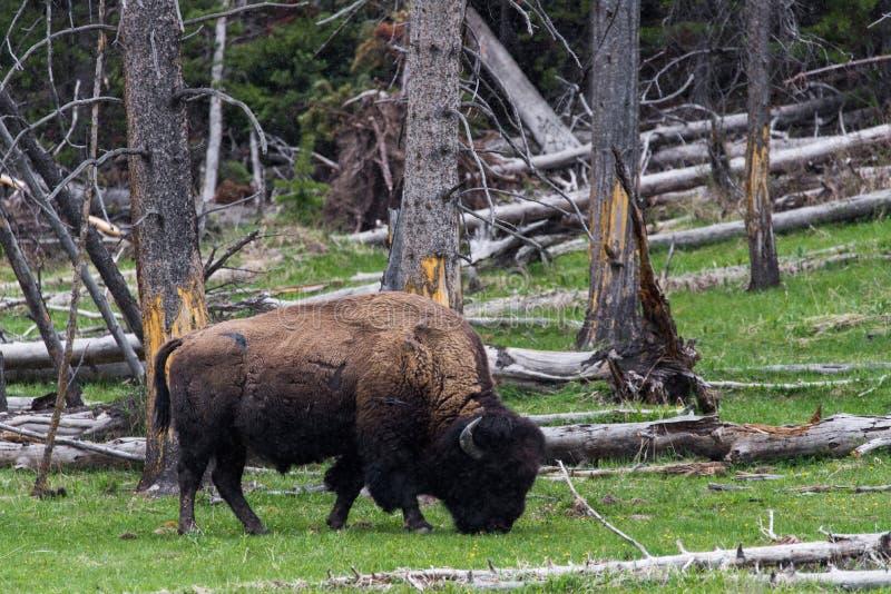 Dzikiego żubra bawoli pasanie mountai - Yellowstone park narodowy - obrazy royalty free