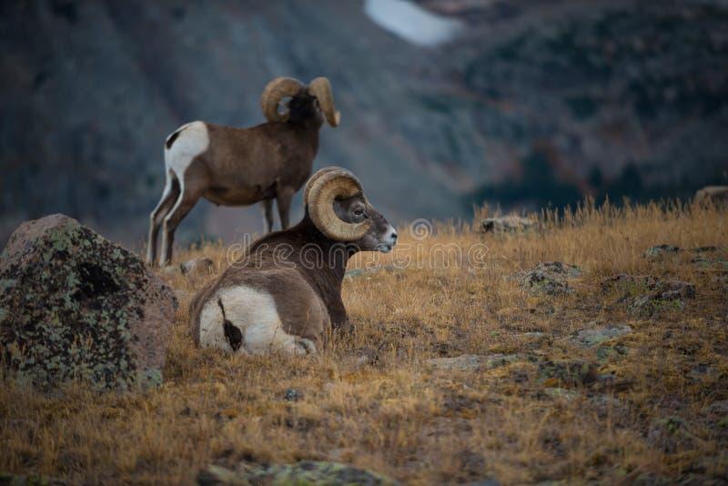 Dzikiego bighorn cakli Ovis canadensis Skalista góra Kolorado obraz royalty free