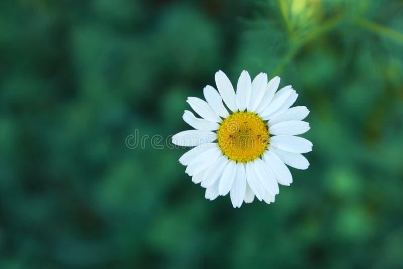 Dzikiego Chamomile «Matricaria Chamomilla «kwiat na rozmytym zielonym tle obrazy stock