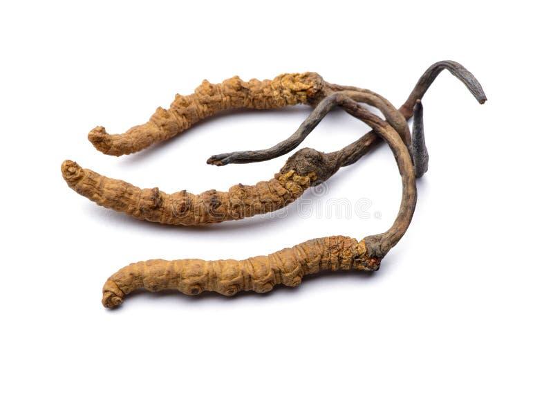 Dzikiego cordyceps sinensis Tybet cali kawałki pojedynczy białe tło zdjęcie stock