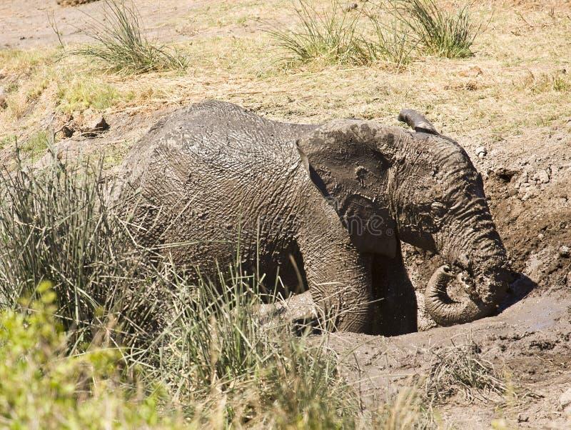 Dzikiego dziecka afrykański słoń bawić się w błocie, Kruger park narodowy, Południowa Afryka zdjęcia stock