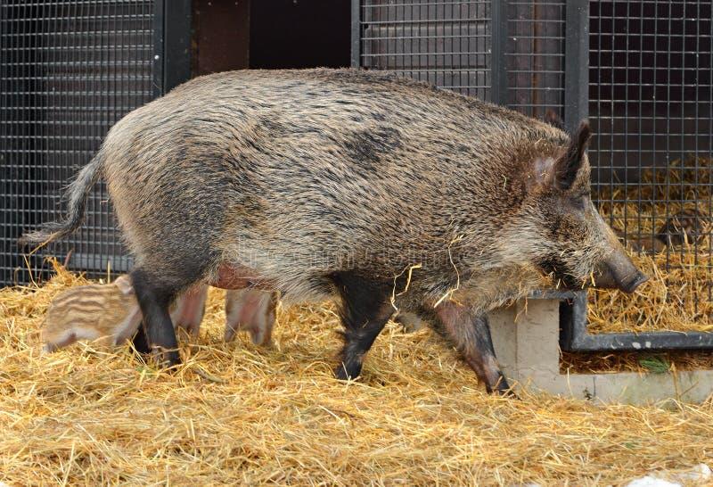 Dzikiego knura Sus scrofa, także znać jako dzikie chlewnie lub po prostu dzika świnia z prosiaczkami, Eurazjatycka dzika świnia, obraz stock