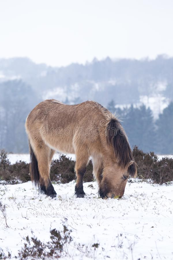 Dzikiego konia łasowania trawa w śniegu w zima krajobrazie zdjęcia stock