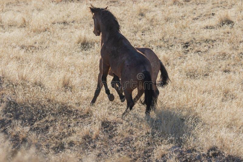 Dzikiego konia ogiery Zaciera się w Utah obrazy royalty free