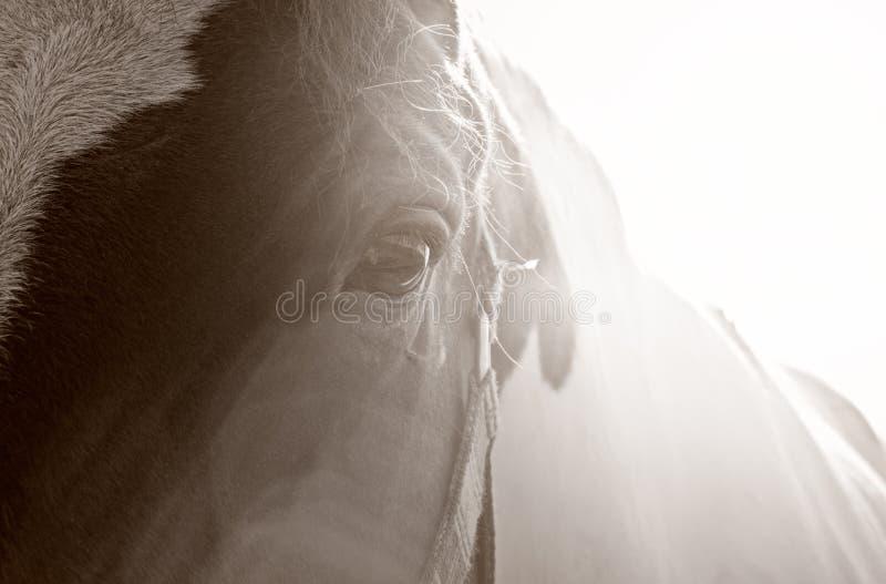 Dzikiego konia oka colour sepiowa natura fotografia stock