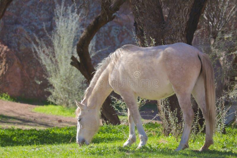 Dzikiego konia pasanie fotografia stock