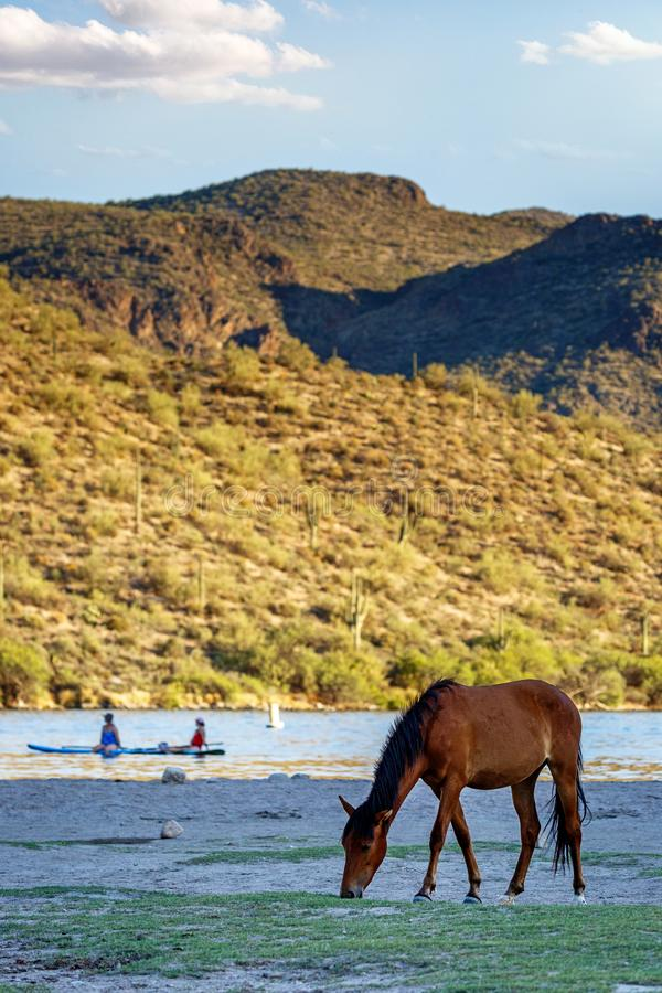 Dzikiego konia pasanie na brzeg Pobliskich ludziach zdjęcia stock