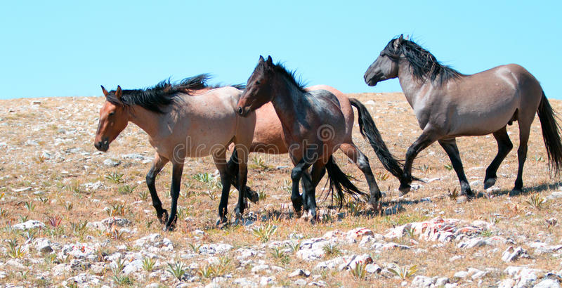 Dzikiego konia stado mustangi biega w Pryor górach Montana obraz royalty free