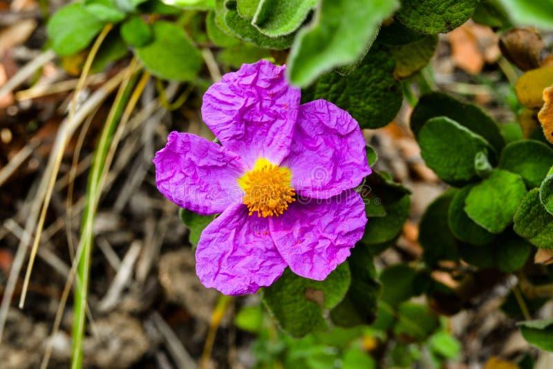 Dzikiego kwiatu menchie fotografia stock