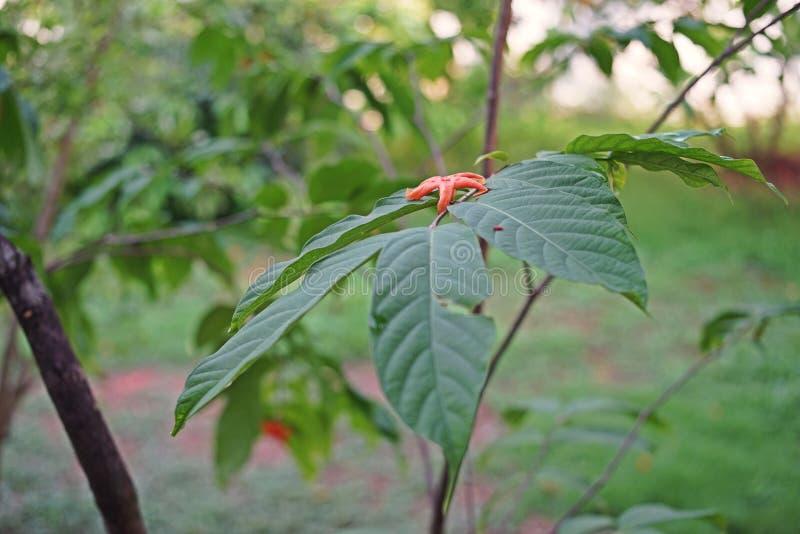Dzikiego kwiatu roślina Azja Południowo-Wschodnia, rozgwiazda kwiat zdjęcie royalty free