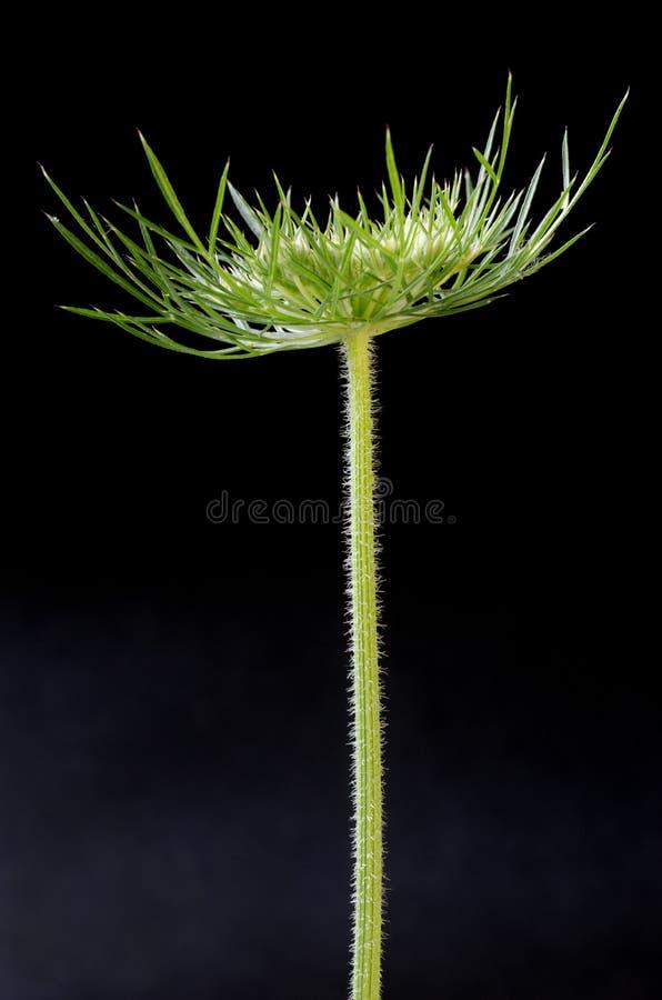 Dzikiego Kwiatu Seedpod Głowa Zdjęcie Royalty Free