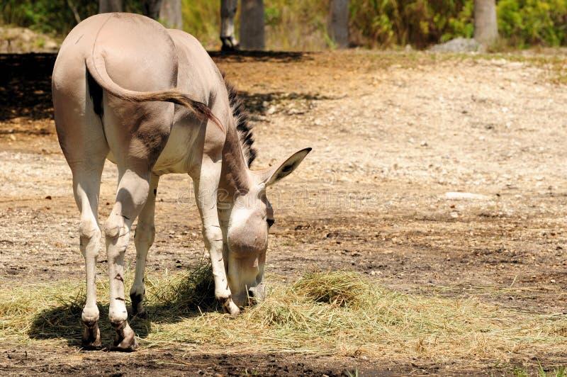 Download Dzikiego osła łasowanie obraz stock. Obraz złożonej z ssak - 28958643