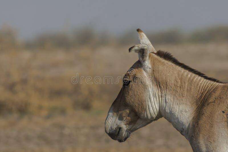 Dzikiego osła Equus hemionus khur przy małym rann kutch fotografia stock