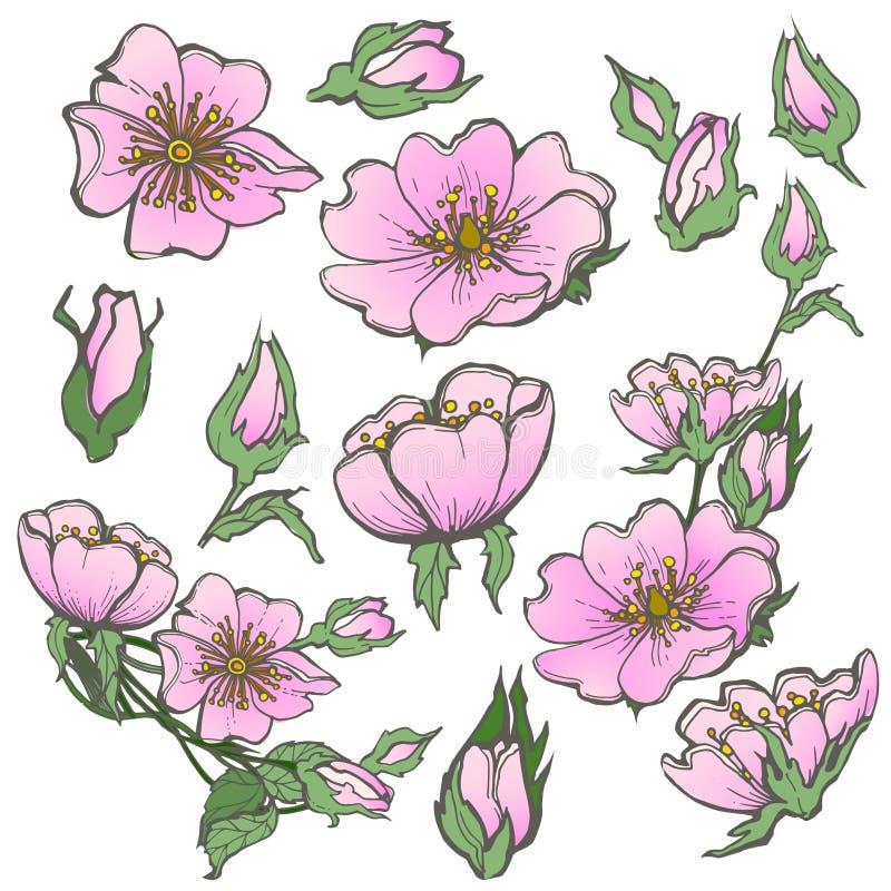 Dzikiego psa róży set kwitnie z pączkami rysuje wektorowego clipart na białym tle dla scrapbooking royalty ilustracja