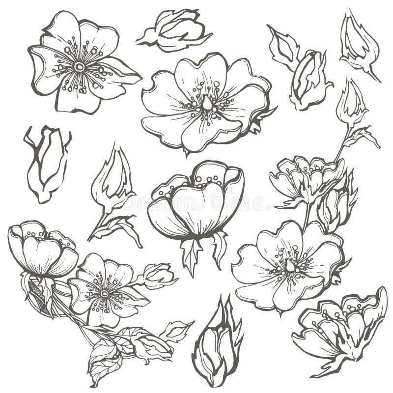 Dzikiego psa róży setu kwiatów konturowego atramentu kolorystyki dorosła strona z pączkami rysuje wektorowego clipart na białym t ilustracji