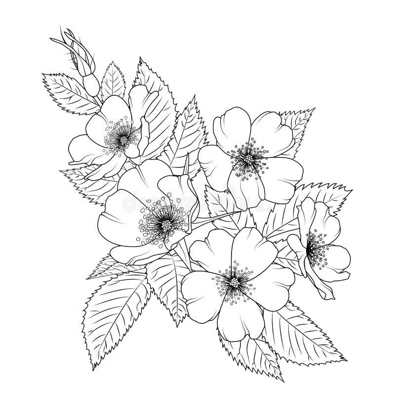 Dzikiego różanego Rosa canina sacura okwitnięcia czereśniowy kwiat ilustracji