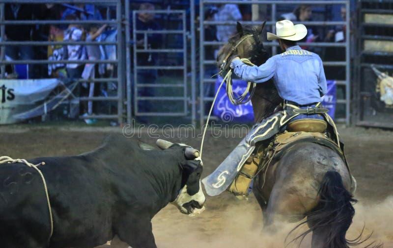 Dzikiego zachodniego rodeo kowbojski łapanie byk obraz stock