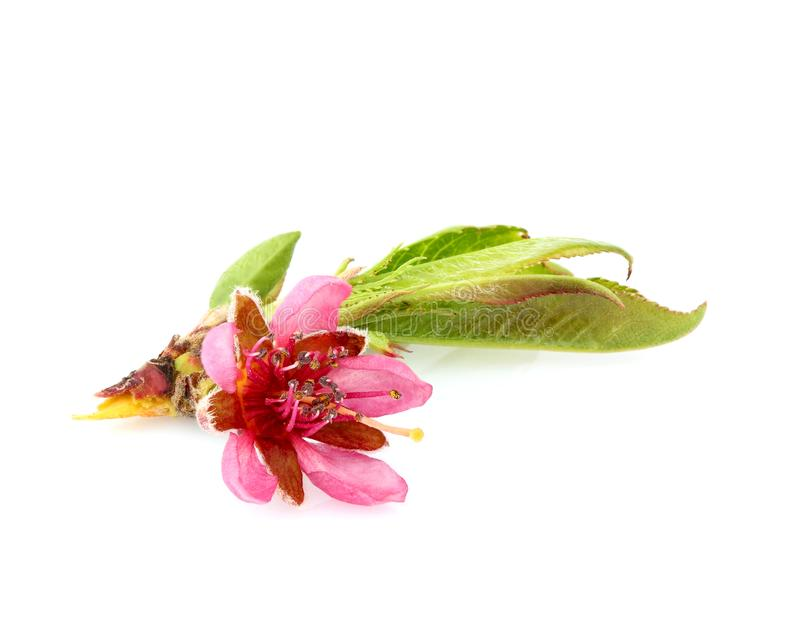 Dzikiej brzoskwini kwiat z liśćmi obrazy royalty free