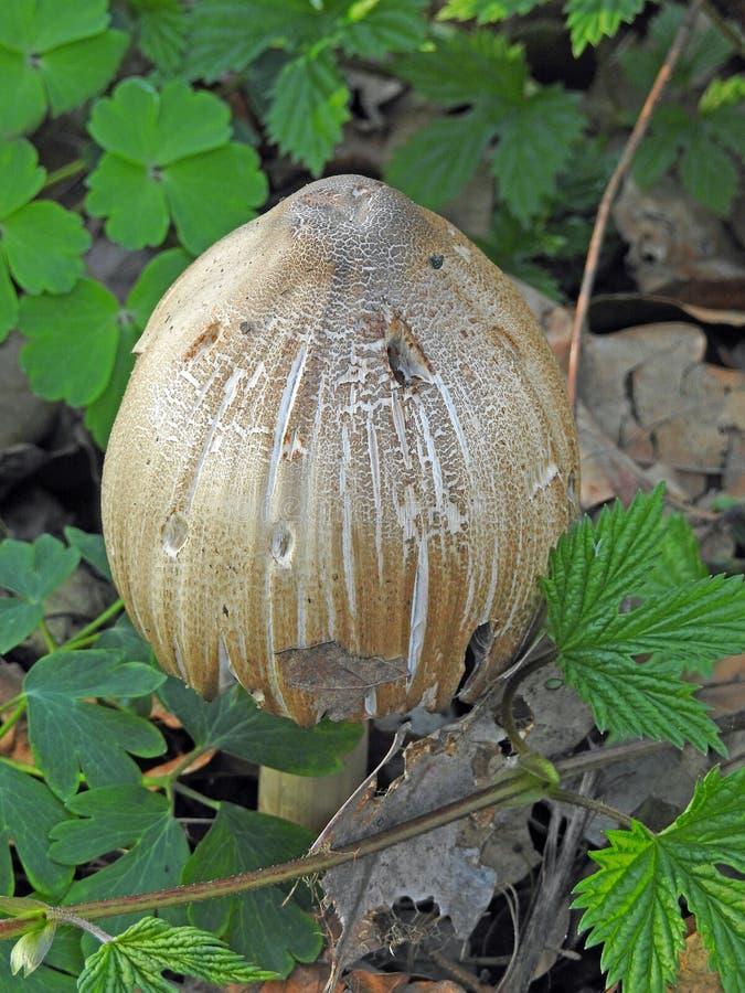 Dzikiej lasowej muchomor pieczarki jadowity warzywo obraz royalty free