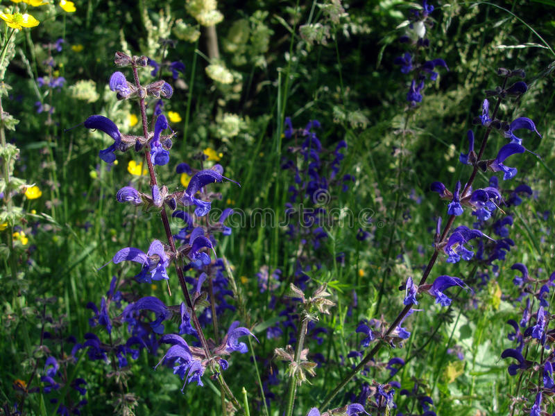 Dzikiej mędrzec purpura kwitnie na kwiat łące blisko lasu obrazy stock