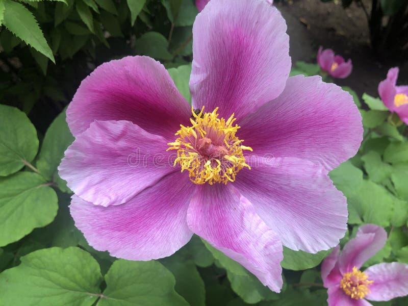 Dzikiej peoni kwiatu rodzaju Paeonia Rzadki kavachensis Aznav obraz royalty free
