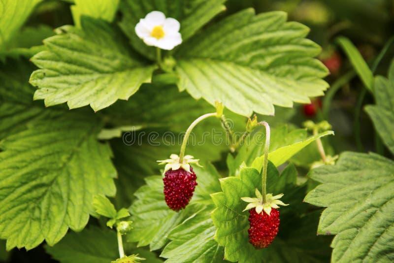 Dzikiej truskawki jagody w lecie w ogródzie fotografia royalty free
