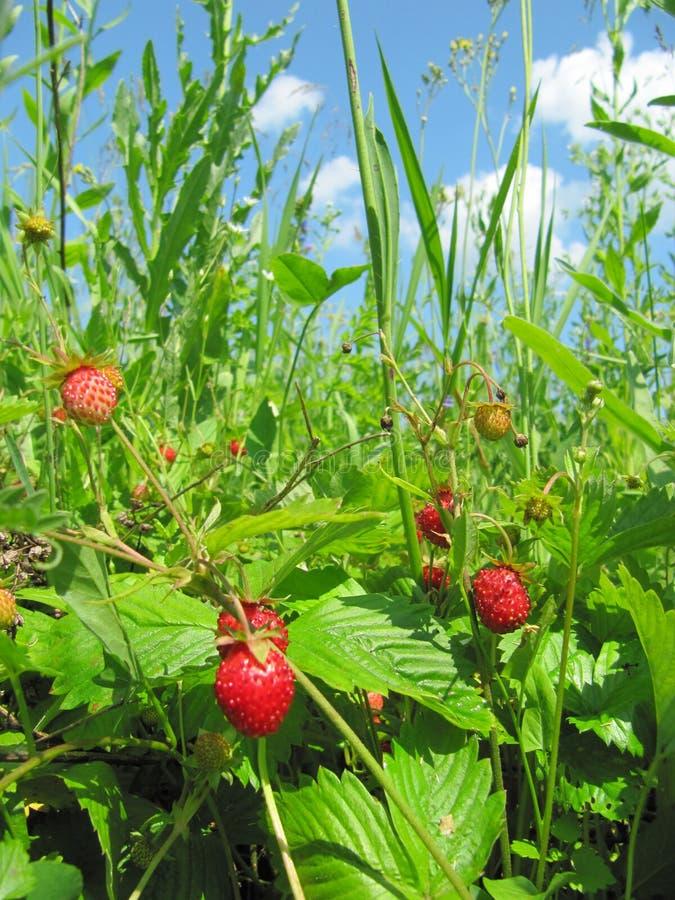 Dzikiej truskawki lasowej zieleni nieba pola drzewna jagodowa łąka obraz royalty free