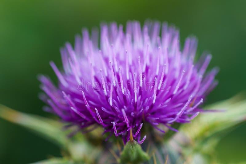 Dziwaczny purpura kwiat obrazy royalty free