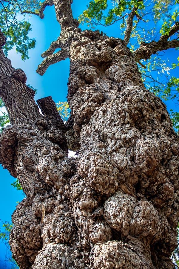 Dziwaczny szpotawy przyglądający drzewo zdjęcia stock