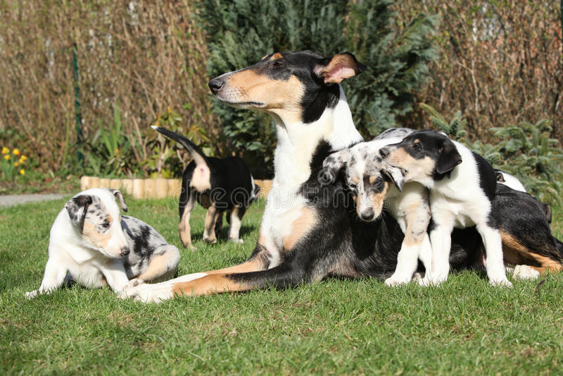 Dziwka Gładka z szczeniakami w ogródzie Collie zdjęcia royalty free