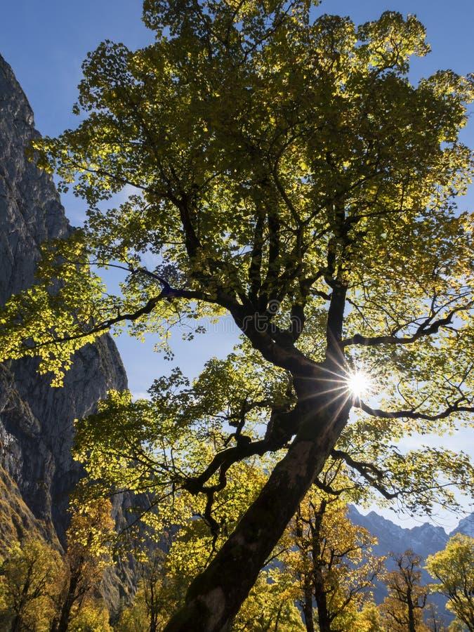 Dziwne drzewo klonowe w Ahornboden zdjęcia royalty free