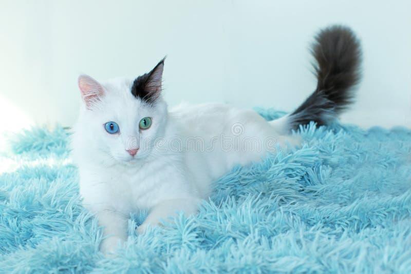Dziwny przyglądający się biały kota lying on the beach na bławej koc obraz stock