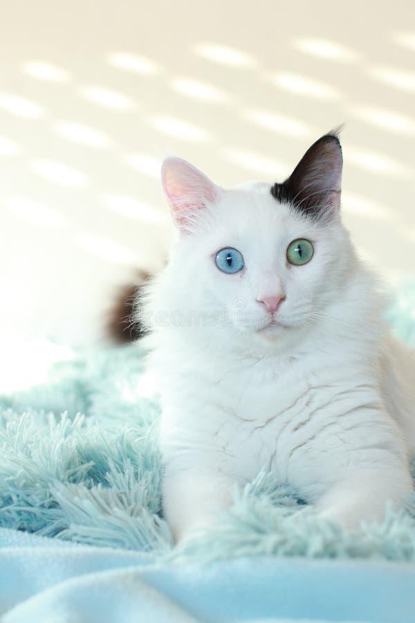 Dziwny przyglądający się biały kota lying on the beach na bławej koc zdjęcie stock