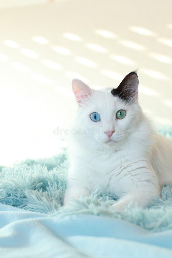 Dziwny przyglądający się biały kota lying on the beach na bławej koc fotografia stock