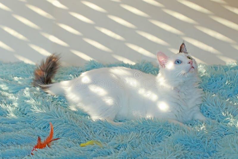 Dziwny przyglądający się biały kota lying on the beach na bławej koc fotografia royalty free