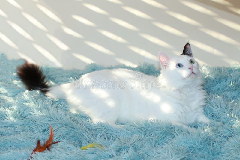 Dziwny przyglądający się biały kota lying on the beach na bławej koc obraz royalty free