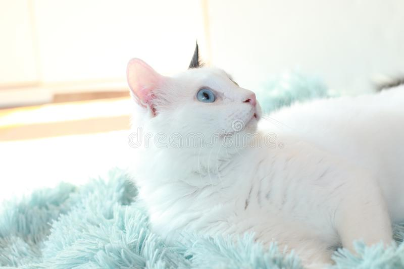 Dziwny przyglądam się biały kota kłamać z ukosa na bławej koc fotografia stock