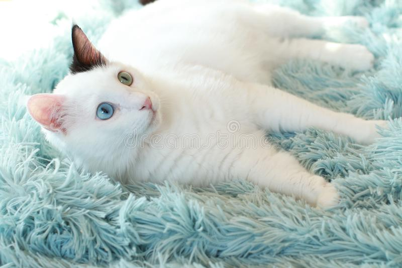 Dziwny przyglądam się biały kota kłamać z ukosa na bławej koc obrazy royalty free