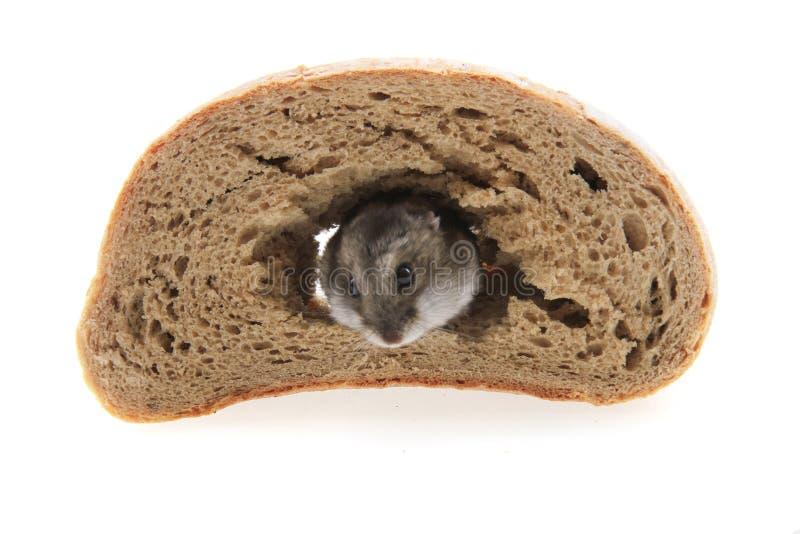 dzungarian chleb i chomik obraz royalty free