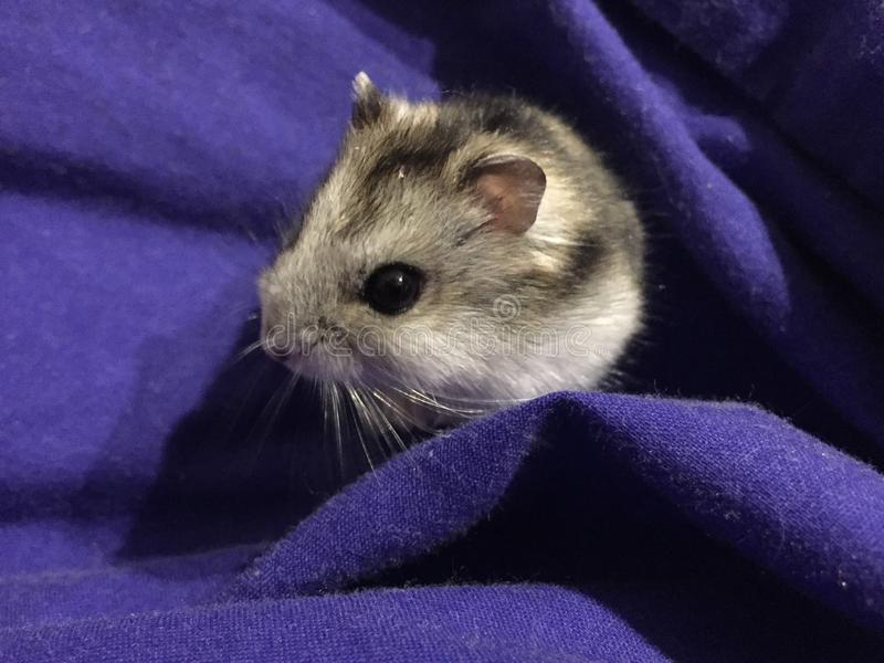 Dzungarian hamster arkivbilder