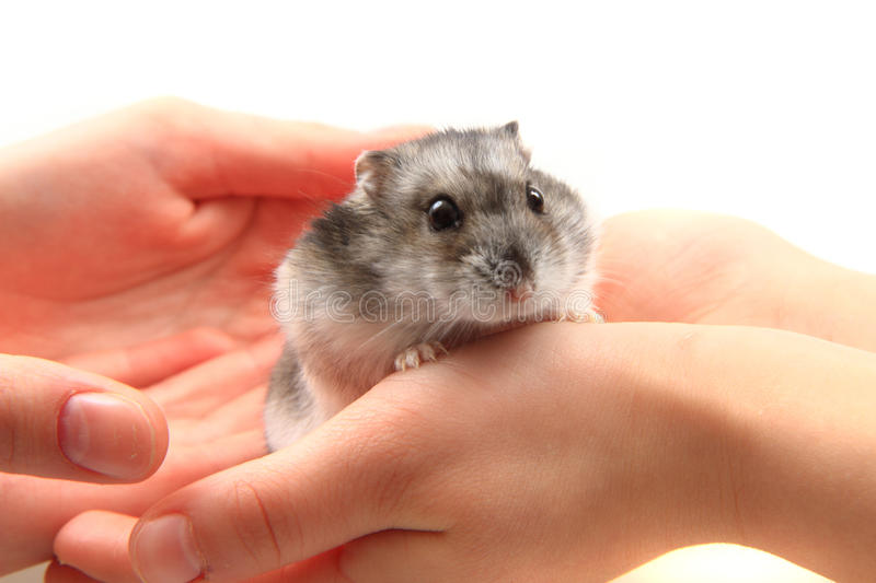 Dzungarian hamster in human hands stock photography