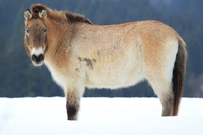 dzungarian koń zdjęcie stock