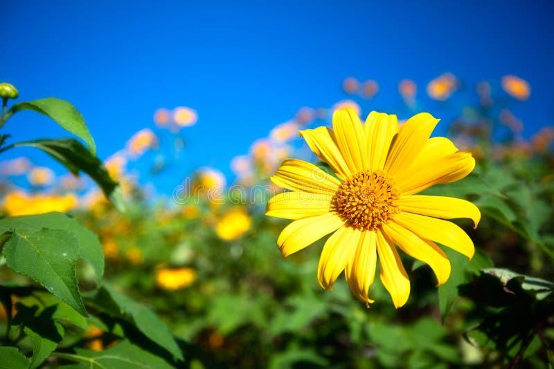 Dzwoniący Bua Tong, ten kwiatu wezwania Meksykański słonecznik przy Doi Mae Kh obraz stock