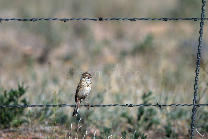 Dzwonkowe ` s Wróblie żerdzie na drucie kolczastym one fechtują się w południowej Kolorado ` s san luis wiejskiej dolinie obraz royalty free