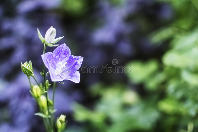 Dzwonkowy kwiat z miękką ostrością zdjęcie stock